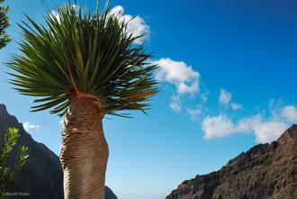 Dragonnier à Tenerife