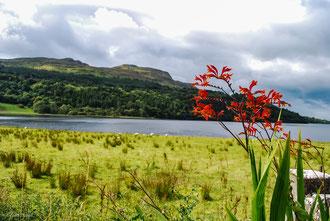 Fleur de Monbretias dans le comté de Sligo en Irlande