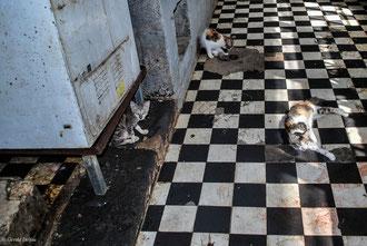 Ile Maurice, Port-Louis, Marché couvert, les chats attendant les restes