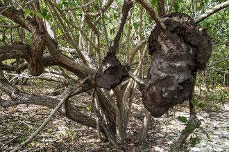 Termitière dans la magrove à Port-Louis, Guadeloupe