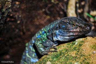 Lezard bleu tacheté, espèce endemique de Tenerife en voie de disparition