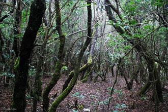 Forêt de lauriers sur l'île de la Gomera Archipel des Canaries