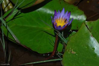 Fleur de nénuphar à l'île Maurice