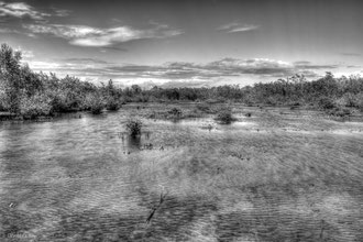 Transgression marine dans la mangrove de Port-Louis, Guadeloupe