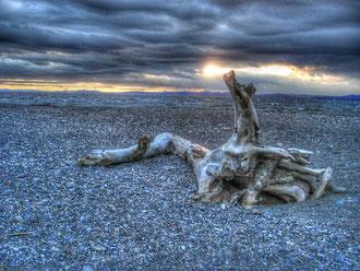 Arbre mort sur le gravier atlantique en Gaspésie au Canada