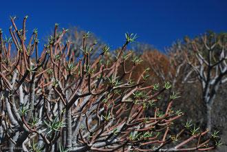 Végétation sur l'île de la Gomera Archipel des Canaries