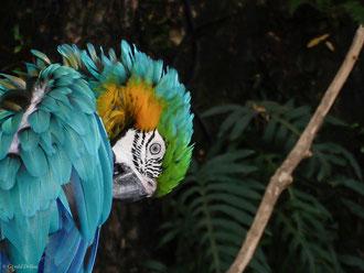 Perroquet Ara, Guadeloupe