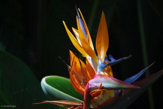 Oiseau de Fleur de Paradis à Icod de los Vinos, Tenerife