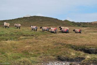 troupeau de moutons à Achill Island Comté de Mayo, Irlande