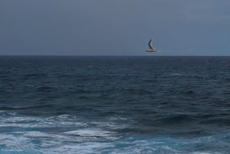 Ile Maurice, oiseau Paille-en-queue
