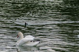 Poule d'eau et Cygne au chateau de Fontainebleau