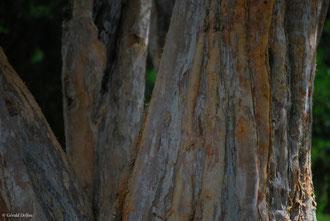 Tronc d'arbre, Ile Maurice