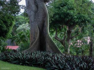 Grand Fromager au jardin botanique, Deshaies, Guadeloupe