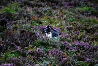 Irlande, Comté du Connemara, chèvre dans la bruyère sur Diamond Hill