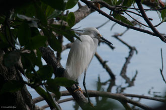 Pique-Boeuf, Ile aux oiseaux, grand-cul-de-sac-marin, Guadeloupe