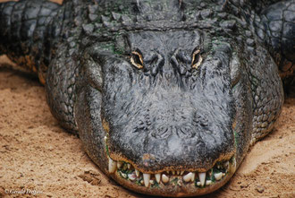 Aligatore à Loro Park, Tenerife, Canaries