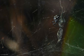 Cyrtophora Citricola (Araneidae) femelle, Canaries, Tenerife
