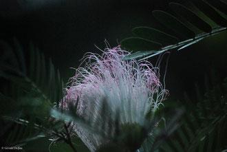 au Jardin de pamplemousse de l'Ile Maurice