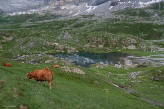Troupeau de vaches, cirque de Troumouse, Pyrénées