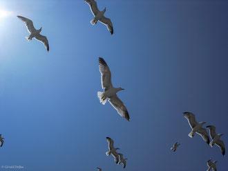 Vol de mouettes à l'arrivée du poisson au port d'Essaouira au Maroc
