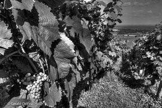 Vignes_Montmagny_Bourgogne