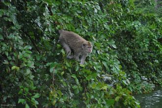 Macaque, Canal Trou d'eau douce, Ile Maurice