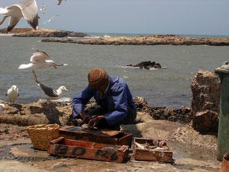 Nettoyage et préparation du poisson devant les mouettes à Essaouira au Maroc
