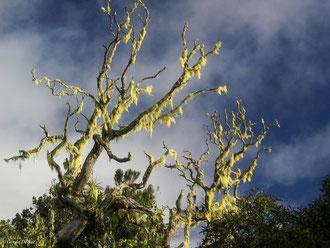 Arbre moussu, Ile de la Réunion