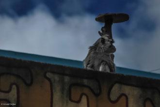 Ile Maurice, Rose Belle, Macaque sur un toit