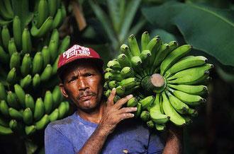 Dominikanische Republik: Bananenernte in der Finka 6 / Bananen - Uganda