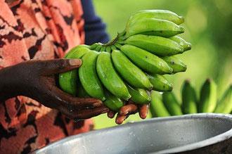 """Uganda: Ernte von organisch angebauten Bananen für """"Kipepeo"""" in Neuffen / Bananen - Uganda"""