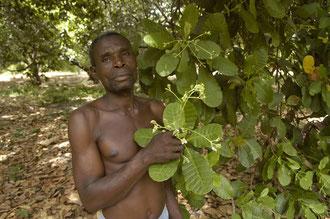 Cashew Bauer in seiner Cashew Kultur / Cashew -Tansania