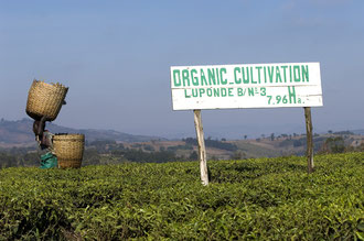 Organische Teekultur bei Luponde / Tee - Tansania