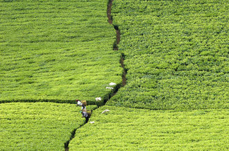 Teeplantage / Tee - Tansania