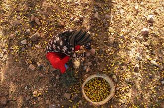 Nur was vom Argan - Baum fällt wird weiterverarbeitet / Argan-Öl - Marokko