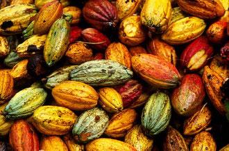 Farbenpracht der Kakaofrüchte / Kakao - Dominikanische Republik