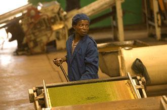 Arbeiter in Teefabrik von Luponde / Tee - Tansania