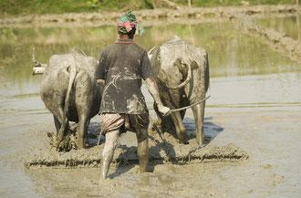 Arbeit in der Reis-Kultur / Reis - Bangladesh