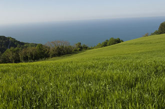 Gerstenfeld direkt am Meer / Gerste - Italien