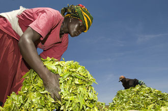 Tee Sammelstelle mit Waage / Tee - Tansania