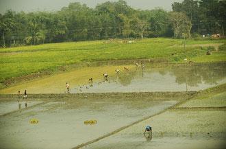 Reisanbau im Khulna District - Süden von Bangladesh / Reis - Bangladesh