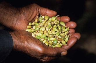Organischer Kardamon aus Sansibar / Gewürze - Sansibar
