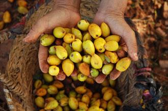 Reife Argan - Früchte / Argan-Öl - Marokko