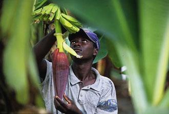 Dominikanische Republik: Saisonarbeiter aus Haiti übernehmen die Hauptarbeit in den Bananenkulturen der Dominikanischen Republik - meist für einen Hungerlohn / Bananen - Uganda