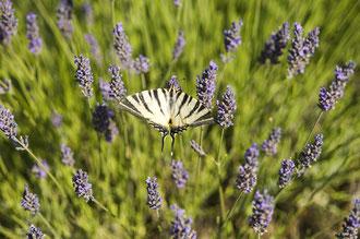 Lavendelfelder / Drôme / Frankreich