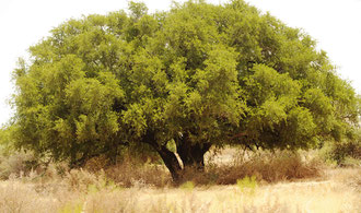 Alter Argan - Baum von ca 200 Jahren / Argan-Öl - Marokko