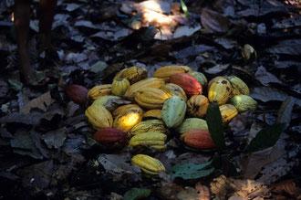 Sammelstelle für die Kakaofrüchte / Kakao - Dominikanische Republik