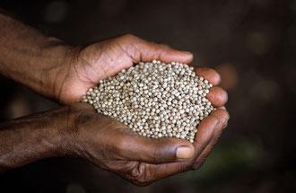 Organischer weißer Pfeffer aus Sansibar / Gewürze - Sansibar