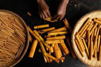 Organischer Zimt in Sansibar wird zu Stangen gerollt / Gewürze - Sansibar