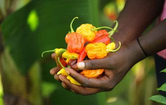 Bio-dynamisch angebaute Paprika in Uganda / Gewürze - Sansibar